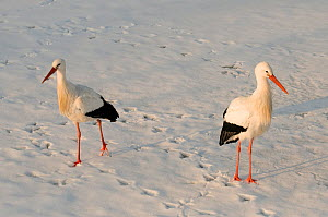 Two White Stork (Ciconia ciconia) walking through snow. The Netherlands, January. - Edwin Giesbers