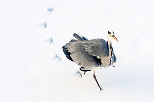 Grey Heron (Ardea cinerea) leaving footprints while walking through snow. The Netherlands, January.  -  Edwin Giesbers