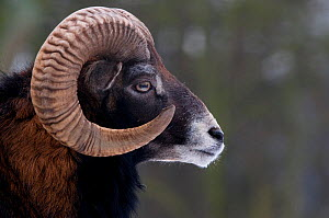 European Mouflon (Ovis musimon) male head profile. The Netherlands, January. - Edwin Giesbers
