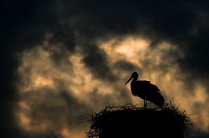 White Stork (Ciconia ciconia) on nest, silhouetted against stormy sky. The Netherlands, April.  -  Edwin Giesbers