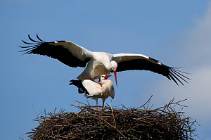 Breeding pair of White Stork (Ciconia ciconia) mating on nest. The Netherlands, April.  -  Edwin Giesbers