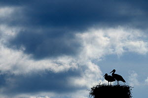 Breeding pair of White Stork (Ciconia ciconia) on nest. The Netherlands, April.  -  Edwin Giesbers