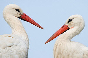 RF- Two White Stork (Ciconia ciconia). The Netherlands, April. (This image may be licensed either as rights managed or royalty free.)  -  Edwin  Giesbers
