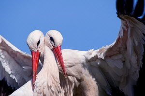 Two White Stork (Ciconia ciconia), breeding pair. The Netherlands, April. - Edwin Giesbers