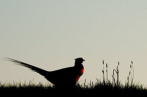 Common Pheasant (Phasianus colchicus) on grassland. The Netherlands.  -  Edwin Giesbers