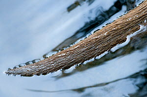 Close-up of European Otter (Lutra lutra) tail in water. Captive. The Netherlands.  -  Edwin Giesbers