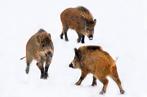 Three juvenile Wild Boar (Sus scrofa). The Netherlands, January.  -  Edwin Giesbers