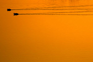 Two Common Coot (Fulica atra) swimming and leaving wakes on water. The Netherlands, July.  -  Edwin Giesbers