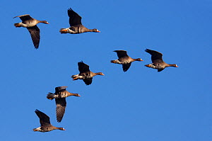 RF- Seven White-fronted Goose (Anser albifrons) flying in formation. The Netherlands. July. (This image may be licensed either as rights managed or royalty free.)  -  Edwin  Giesbers