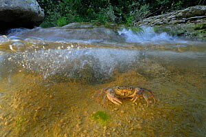 Freshwater Crab (Potamon fluviatile) under rapids in a shallow stream. Foreste Casentinesi National Park, Italy, July.  -  Fabio Liverani