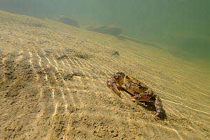 Freshwater Crab (Potamon fluviatile) on stream bed. Foreste Casentinesi National Park, Italy, July.  -  Fabio Liverani