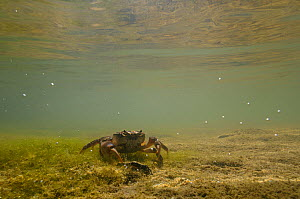Freshwater Crab (Potamon fluviatile) on a shallow stream bed. Foreste Casentinesi National Park, Italy, July.  -  Fabio Liverani