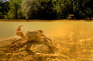 Freshwater Crab (Potamon fluviatile) in a shallow stream - split perspective showing crab beneath and fluvial habitat. Foreste Casentinesi National Park, Italy, July. - Fabio Liverani