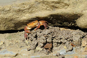 Freshwater Crab (Potamon fluviatile) on pile of mud dug out of hole. Foreste Casentinesi National Park, Italy, August.  -  Fabio Liverani