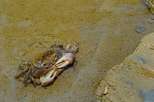 Freshwater Crabs (Potamon fluviatile) mating. Foreste Casentinesi National Park, Italy, August.  -  Fabio Liverani