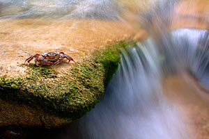 Freshwater Crab (Potamon fluviatile) by a stream. Foreste Casentinesi National Park, Italy, July.  -  Fabio Liverani