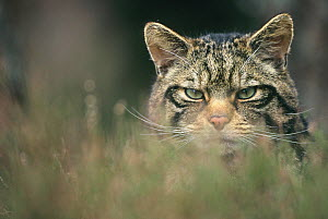 Wild cat (Felis silvestris) portrait in long grass, Scotland, UK - Peter Cairns