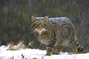 Scottish wildcat (Felis sylvestris) in snow, Scotland, UK, January, Highly commended, Documentary series category, British Wildlife Photography Awards (BWPA) competition 2011 - Peter Cairns