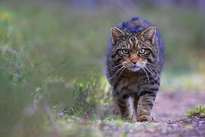 Scottish wildcat (Felis sylvestris) stalking along track in pine forest, Cairngorms National Park, Scotland, UK, April - Peter Cairns