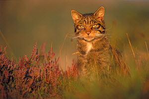 Wild cat (Felis silvestris) portrait on moorland, Scotland, UK - Peter Cairns