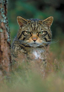 RF- Wild cat (Felis silvestris) portrait beside tree, Scotland, UK. (This image may be licensed either as rights managed or royalty free.) - Peter Cairns