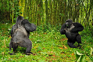Two male Mountain Gorilla (Gorilla beringei) facing up and chest-beating in a dominance / hierarchy behaviour. Rwanda, Africa  -  Andy Rouse