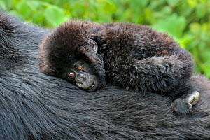 Mountain Gorilla (Gorilla beringei) young infant resting on an adult's back. Rwanda, Africa  -  Andy Rouse