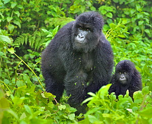 RF- Mountain Gorilla (Gorilla beringei) adult with infant. Rwanda, Africa. Endangered species. (This image may be licensed either as rights managed or royalty free.)  -  Andy  Rouse