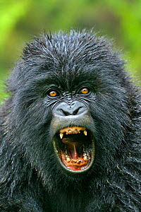 Portrait of a Mountain Gorilla (Gorilla beringei)  with mouth wide open. Rwanda, Africa  -  Andy Rouse