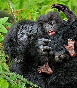Mountain Gorilla (Gorilla beringei) adult playing with an infant. Rwanda, Africa - Andy Rouse