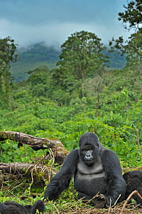 Portrait of a Mountain Gorilla (Gorilla beringei) with a view over forest canopy. Rwanda, Africa, March.  -  Andy Rouse