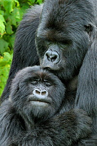 Mountain Gorilla (Gorilla beringei) male and female after mating. Rwanda, Africa  -  Andy Rouse