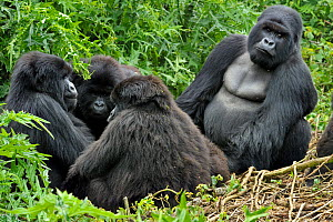 Mountain Gorilla (Gorilla beringei) family sitting in groupm male looking to camera. Rwanda, Africa  -  Andy Rouse
