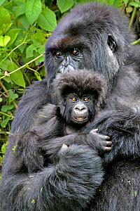 Mountain Gorilla (Gorilla beringei) adult holding infant close to her. Rwanda, Africa  -  Andy Rouse