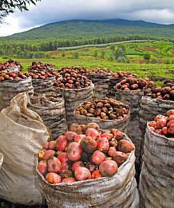 Harvested potatoes in Virunga Volcanoes National Park with agricultural land behind and forest beyond where the mountain gorillas live, Rwanda, April 2010. Encroachment of the human population on habi...  -  Andy Rouse