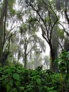 View from the undergrowth looking up into the canopy of rainforest; prime Gorilla (Gorilla beringei) habitat of the Susa group on the upper slopes of Karisimbi Volcano. Virunga Volcanoes National Park...  -  Andy Rouse