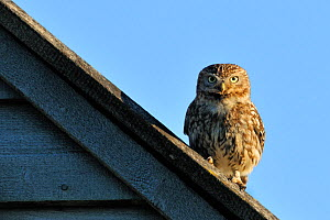 Little Owl (Athene noctua) perched on farm roof. Wales, UK, June.  -  Andy Rouse