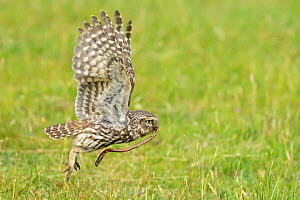 Little Owl (Athene noctua) taking off with a worm in its beak. Wales, UK, June. - Andy Rouse