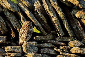 Little Owl (Athene noctua) perched in front of a stone wall. Wales, UK, July.  -  Andy Rouse
