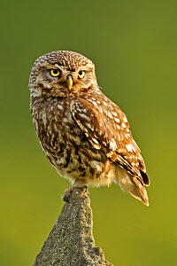Little Owl (Athene noctua) on stone wall. Wales, UK, June.  -  Andy Rouse
