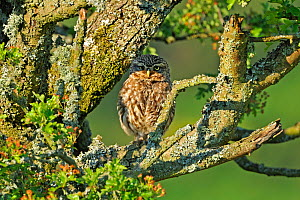Little Owl (Athene noctua) camouflaged on an Oak (Quercus) branch. Wales, UK, June.  -  Andy Rouse