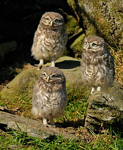Three Little Owl (Athene noctua) chicks outside stone wall nest. Wales, UK, June.  -  Andy Rouse