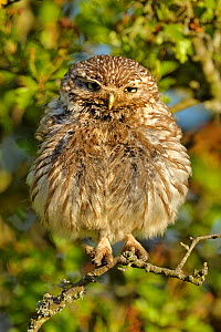 Little Owl (Athene noctua) young owlet perched in Oak (Quercus) branches. Wales, UK, July. - Andy Rouse