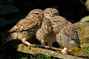 Little Owl (Athene noctua) parent with two chicks. Wales, UK, June. (non-ex).  -  Andy Rouse