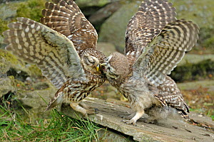 Little Owl (Athene noctua) chick begging food from its parent. Wales, UK, June. (non-ex).  -  Andy Rouse