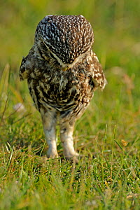 Little Owl (Athene noctua) adult looking for worms. Wales, UK, June. (non-ex). - Andy Rouse