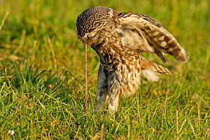 Little Owl (Athene noctua) adult pulling a worm from the ground. Wales, UK, June. (non-ex).  -  Andy Rouse