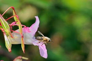 Honey bee (Apis mellifera) heavily dusted with pollen, taking off from Himalayan balsam (Impatiens glandulifera) flower. Wiltshire pastureland, UK, September  -  Nick Upton