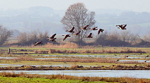 Canada geese (Branta canadensis) and Wigeon (Anas penelope) flying over flooded pastureland in dawn light. Somerset Levels, UK, November 2010  -  Nick Upton