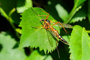 A large, colourful Crane fly (Ctenophora pectinicornis) sunbasking on a leaf. Wiltshire garden, UK, June - Nick Upton